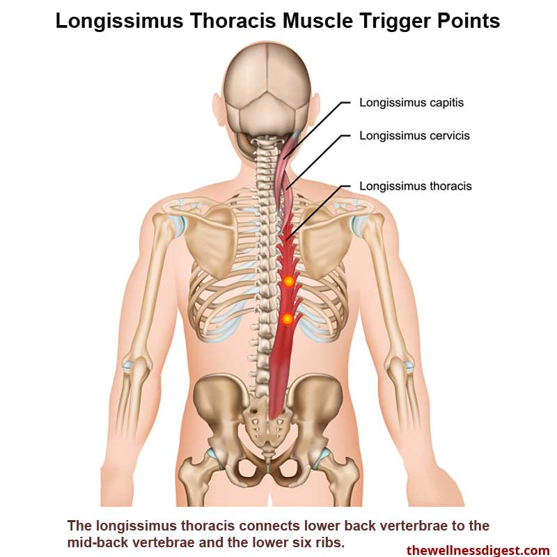 longissimus-thoracis-muscle-trp