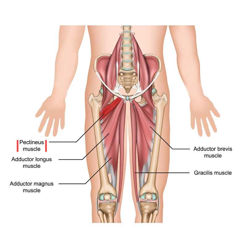 Pectineus Anatomy