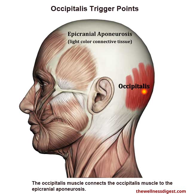 Occipitalis Anatomy Showing Trigger Point Locations