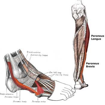 Peroneus Brevis Muscle Anatomy: Origin, Insertion, Action