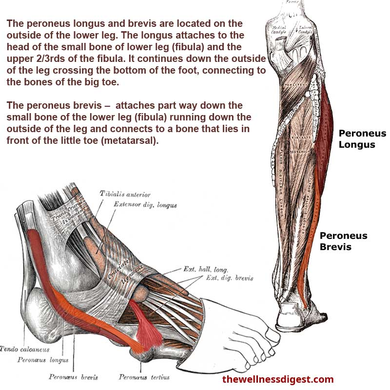 Peroneus Brevis and Peroneus Longus Muscles
