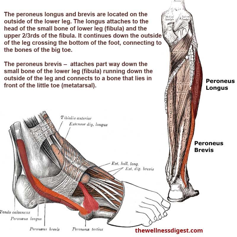 Peroneus Brevis and Peroneus Longus Muscles