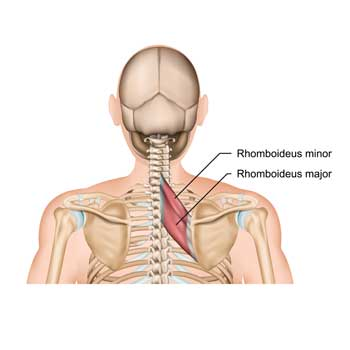 Rhomboid Major and Rhomboid Minor Origin, Insertion, Action
