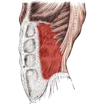 External Oblique Muscle