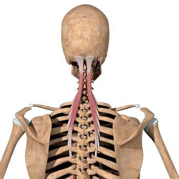 Splenius Capitis Anatomy: Origin, Insertion, Action, Innervation