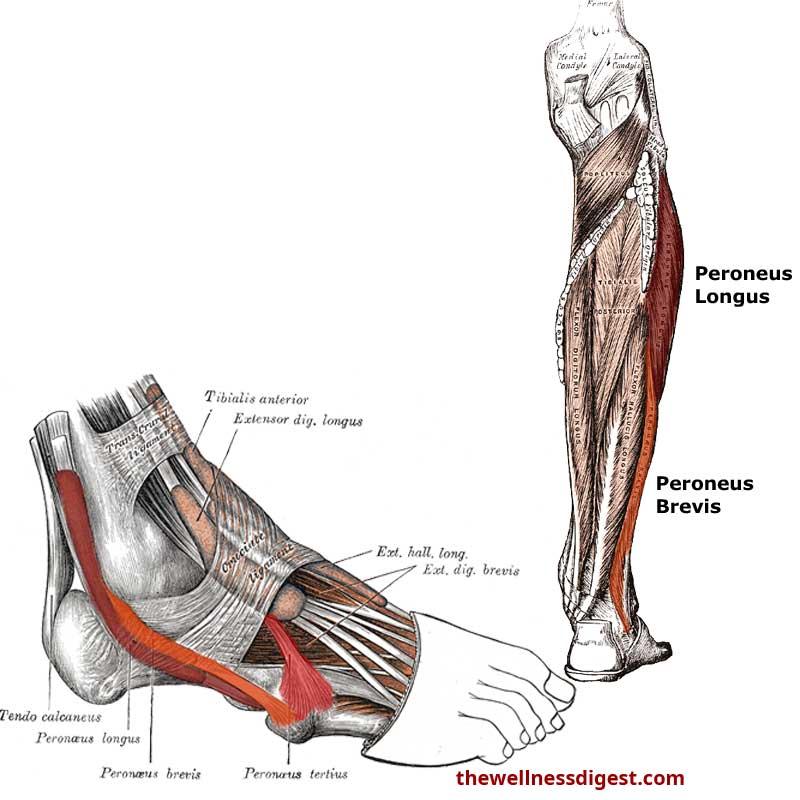 peroneus-anatomy