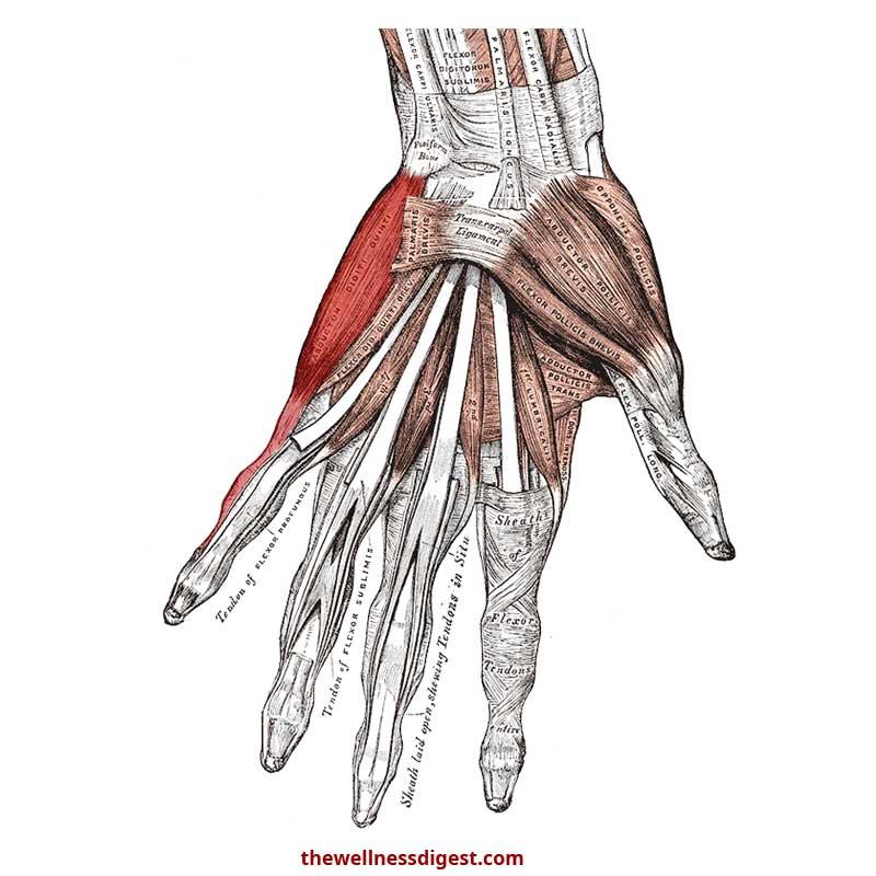 Abductor Digiti Minimi Hand Anatomy