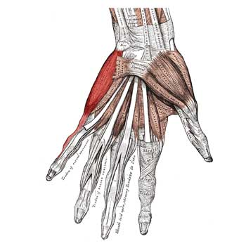 Abductor Digiti Minimi Hand Muscle Anatomy