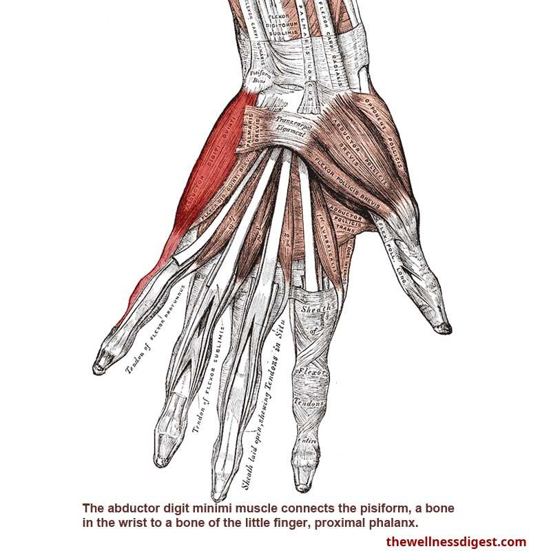 Abductor Digiti Minimi Muscle