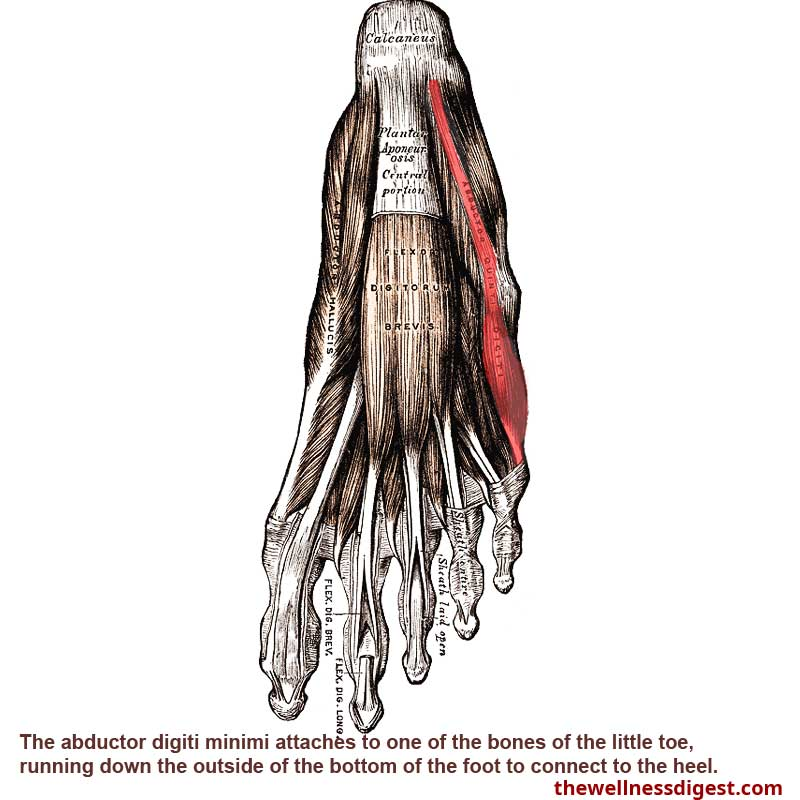 Abductor Digiti Minimi Foot Muscle