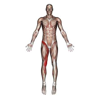 Adductor Longus Muscle: Groin, Thigh, Hip Joint, Knee Pain