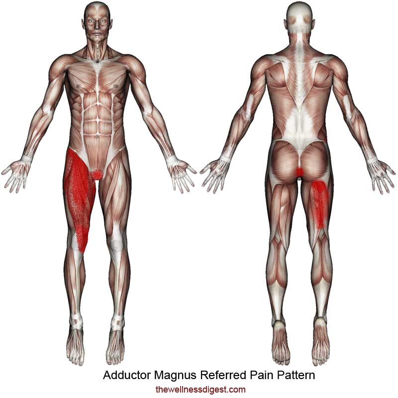 Adductor Magnus Referred Pain Pattern