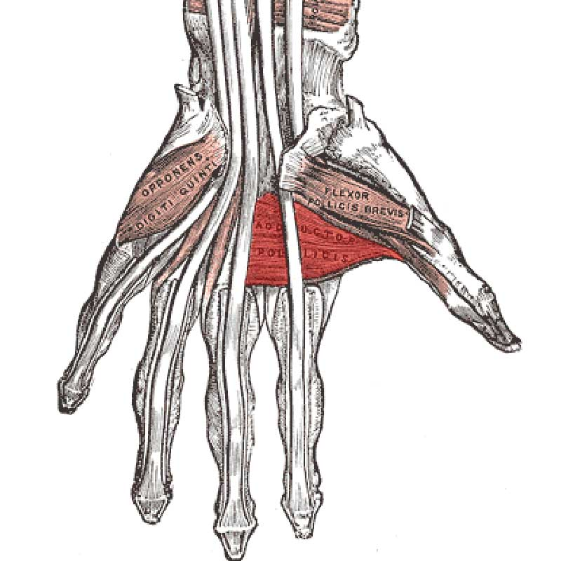 Adductor Pollicis Anatomy