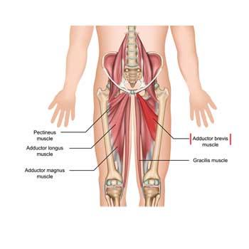 Adductor Brevis Anatomy: Origin, Insertion, Action, Innervation