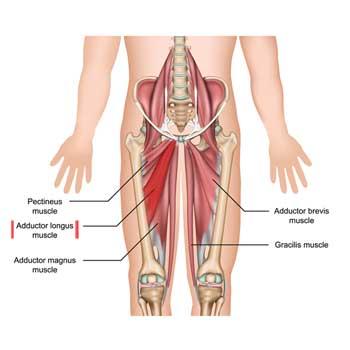 Adductor Longus: Origin, Insertion, Action, Innervation