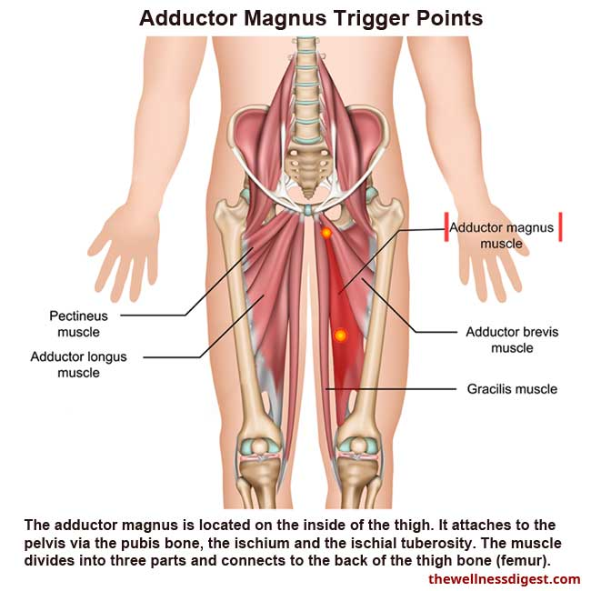 Adductor Magnus Muscle Showing Trigger Points Locations
