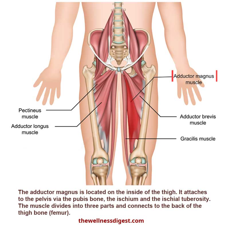 Adductor Magnus Muscle