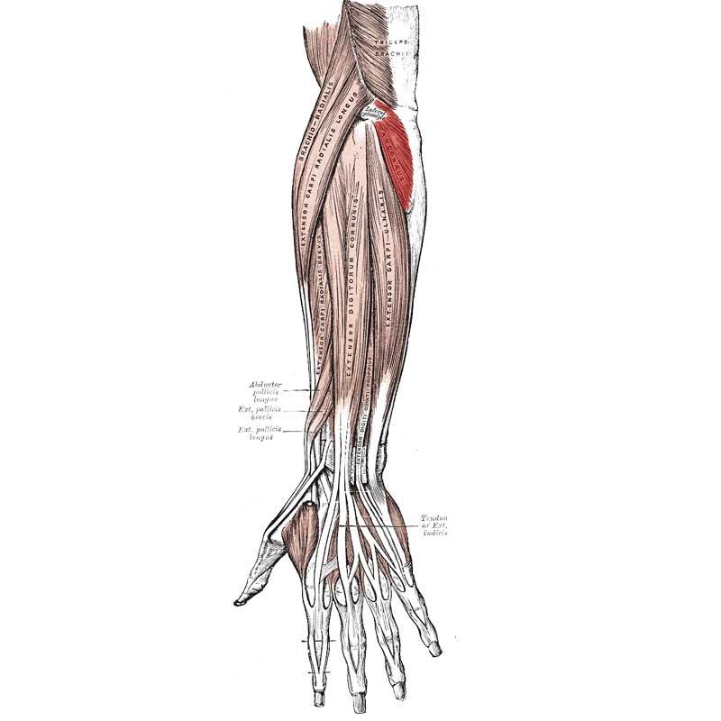 Anconeus Anatomy