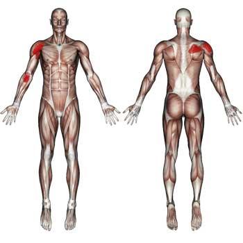 Biceps Brachii Muscle: Shoulder, Elbow Pain
