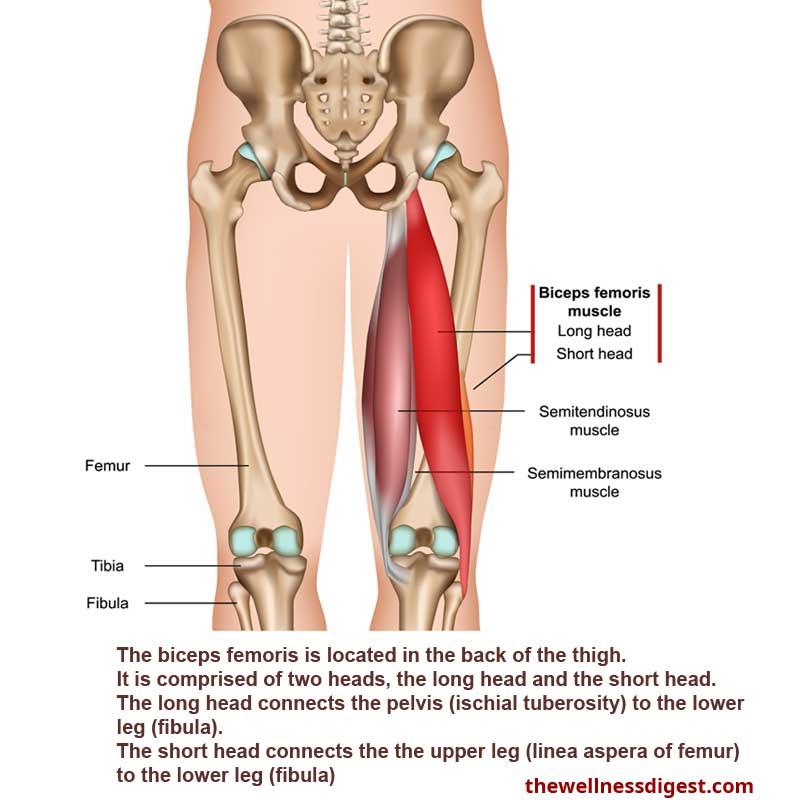 Biceps Femoris Muscle