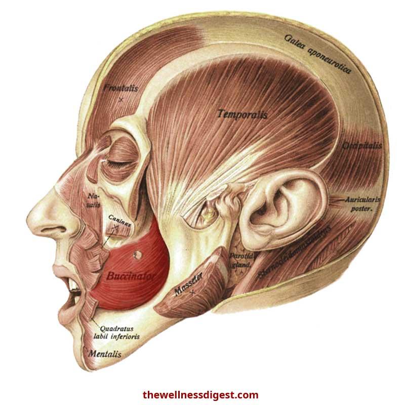 Buccinator Anatomy