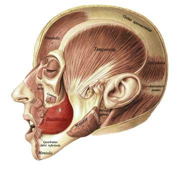 Buccinator Anatomy: Origin, Insertion, Action, Innervation