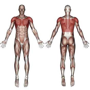 Chest Shoulder Upper Back Muscles