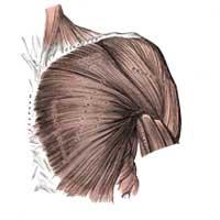 Shoulder Chest Upper Back