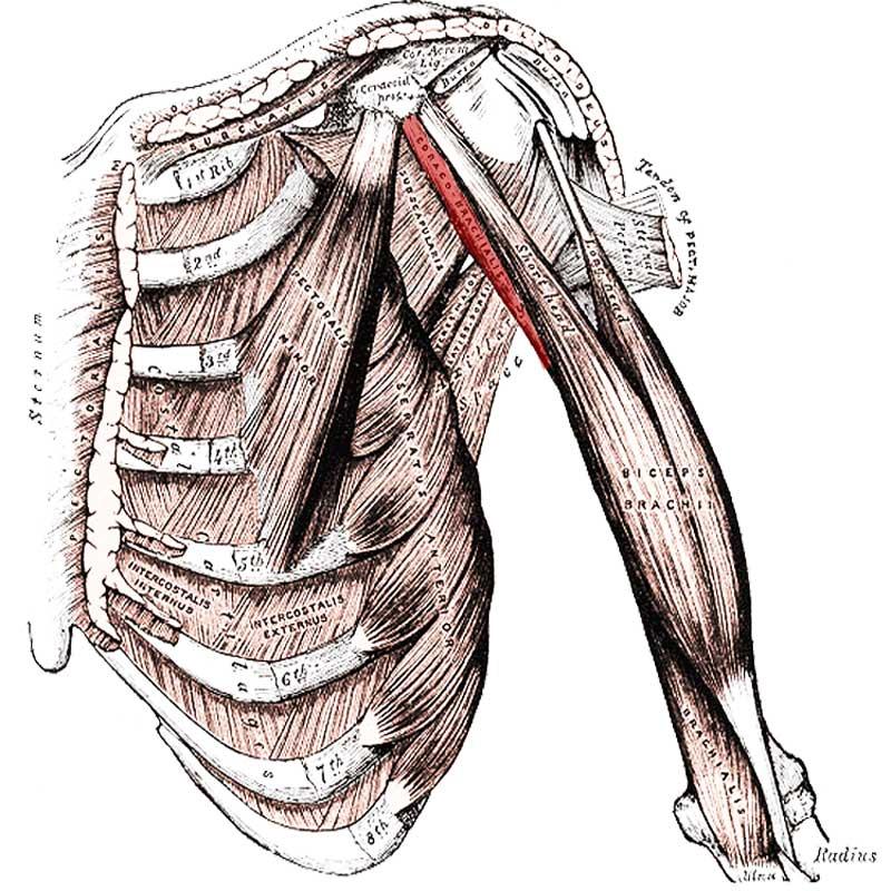 Coracobrachialis Anatomy