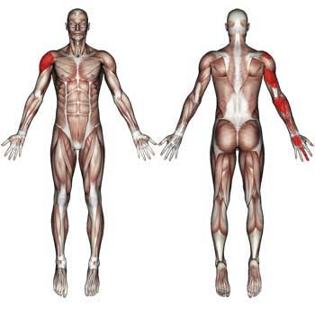 Coracobrachialis Muscle: Arm, Shoulder and Hand Pain