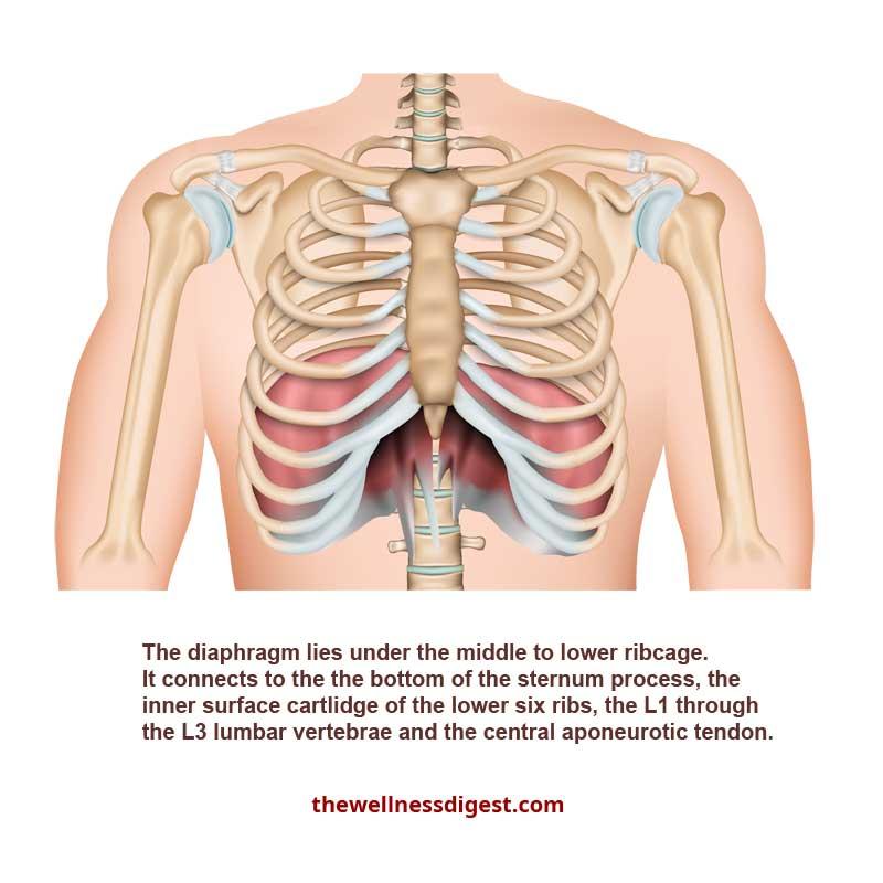 Diaphragm Muscle