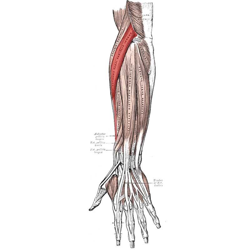 Extensor Carpi Radialis Longus Anatomy