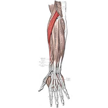 Extensor Carpi Radialis Brevis Origin, Insertion, Action