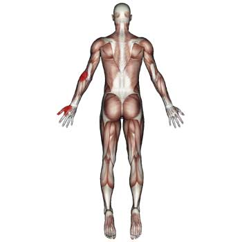 Extensor Carpi Radialis Longus Muscle: Elbow, Arm, Wrist, Pain