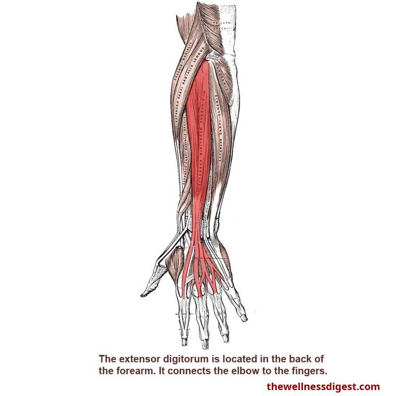 Extensor Digitorum Muscle