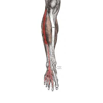 Extensor Digitorum Longus Muscle Anatomy: Origin, Insertion, Action