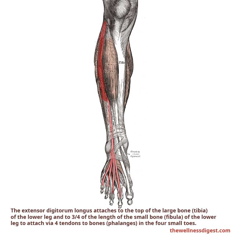 Extensor Digitorum Muscle
