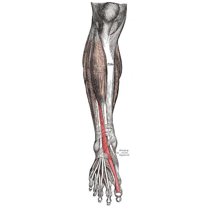 Extensor Hallucis Longus Anatomy