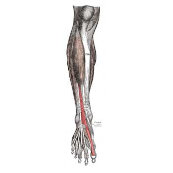 Extensor Hallucis Longus Origin, Insertion, Action and Innervation