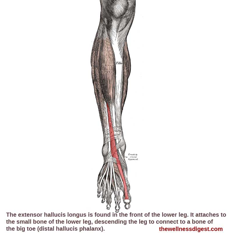 Extensor Hallucis Muscle