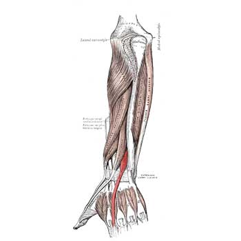 Extensor Indicis Anatomy: Origin, Insertion, Action