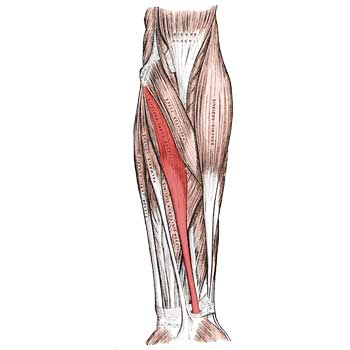 Flexor Carpi Radialis Anatomy: Origin, Insertion, Action