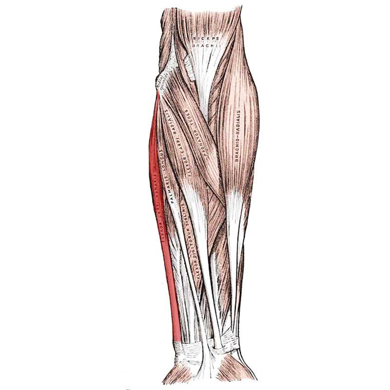 Flexor Carpi Ulnaris Anatomy