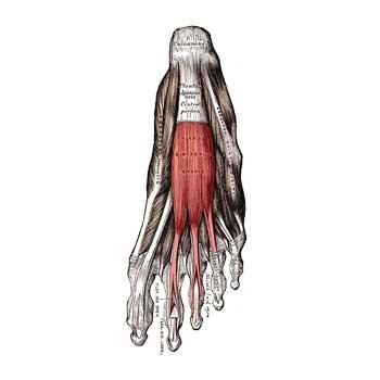 Extensor Digitorum Brevis Muscle Anatomy: Origin, Insertion, Action, Innervation
