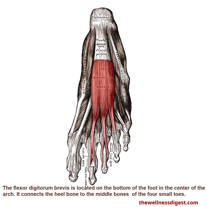 Flexor Digitorum Brevis Muscle