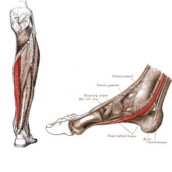 Flexor Digitorum Longus Anatomy: Origin, Insertion, Action