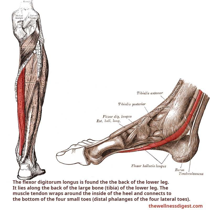 Flexor Digitorum Longus Muscle