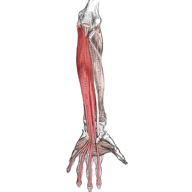 Flexor Digitorum Profundus Anatomy
