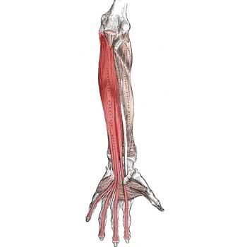 Flexor Digitorum Profundus Anatomy: Origin, Insertion, Action