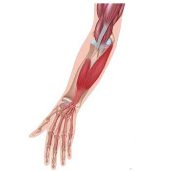 Flexor Digitorum Superficialis Anatomy: Origin, Insertion, Action
